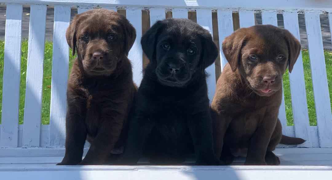AKC registered lab puppies in PA,Future Puppies, American