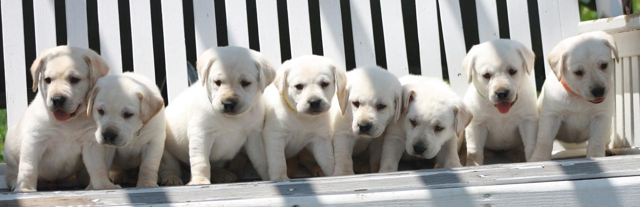 PA lab breeder,Linden PA lab breeder, AKC registered labs, American